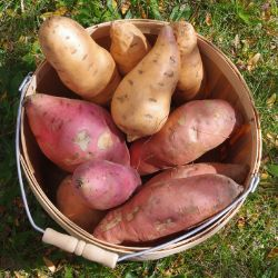 merry products potato planter instructions